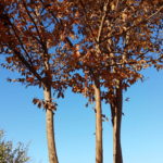 ヒメシャラは美の庭木!面倒な管理は○○と同時解決も