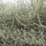 洋風生垣シルバープリペットの剪定は春に年1回の枝切りでも大丈夫?