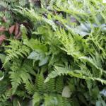 5月のシルバープリペット「生垣」&「挿し木」枯れた?芽吹いた?