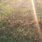 芝用除草剤を少し時期遅れで散布。効き目はあったのか?