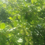 オシャレで管理が楽な生垣はボックスウッド(西洋ツゲ)を挿し木で増やす