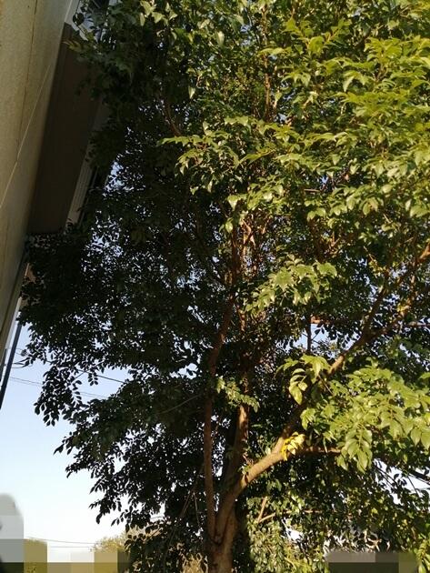 家の直ぐ側にシマトネリコを植える