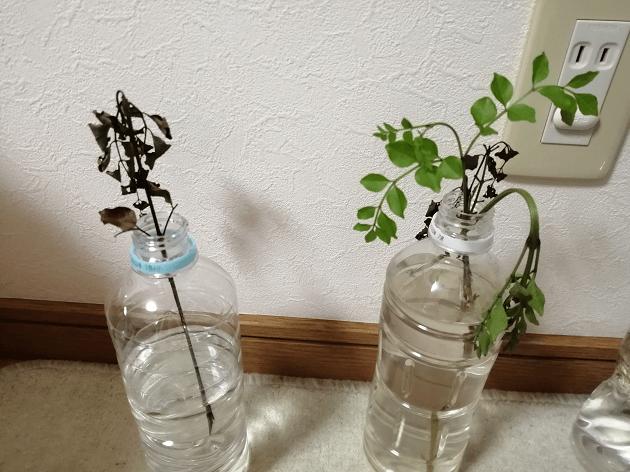 シマトネリコ水栽培は無理