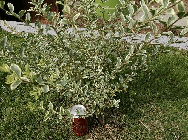 順調に育ったシルバープリペット苗木