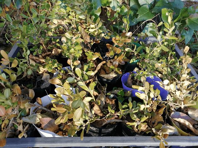 秋から挿し木ボックスウッド