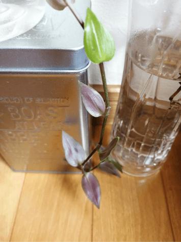 トラディスカンティア水耕栽培