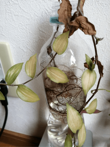 トラディスカンティア水栽培