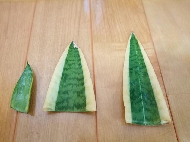 サンセベリア葉挿し用に乾燥させる